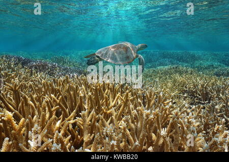 Coral reef underwater with a green sea turtle swims between water surface and corals, Pacific ocean, New Caledonia, - Stock Photo