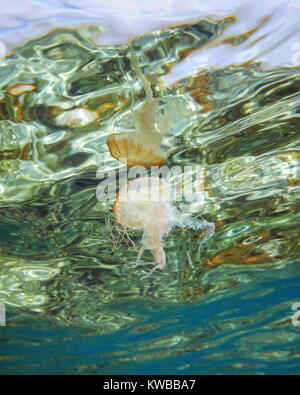 Underwater jellyfish Pelagia noctiluca reflected on the sea surface, Caribbean, natural scene - Stock Photo