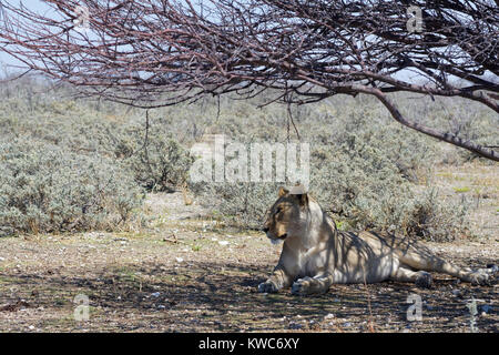 African lion (Panthera leo), lioness lying in the shade of a tree, alert, Etosha National Park, Namibia, Africa - Stock Photo