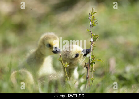 Detailed, landscape close up of two fluffy, springtime gosling chicks out together exploring in the grass, nibbling - Stock Photo