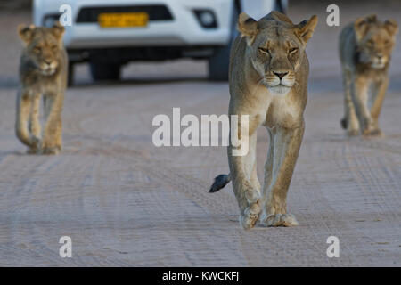 African lions (Panthera leo), lioness with two young males walking on a dirt road, Kgalagadi Transfrontier Park, - Stock Photo