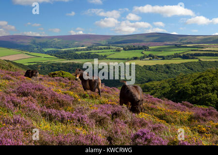 EXMOOR NATIONAL PARK, SOMERSET, ENGLAND: Wild Exmoor ponies amongst Heather and gorse with Dunkery Beacon in distance - Stock Photo