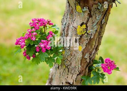 Clusters of pink and white flowers growing on the main trunk of an old ornamental hawthorn tree variety Pauls Scarlet - Stock Photo
