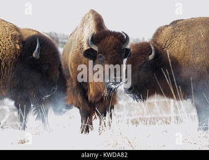 Group Of American Buffalo Are Steaming On Snow In Jester Park, Iowa - Stock Photo