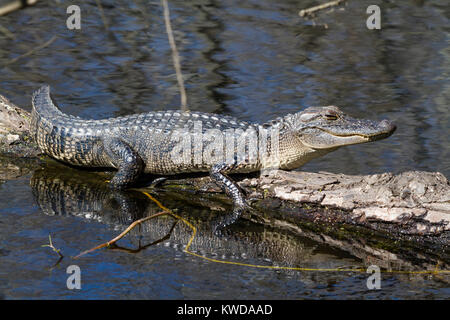 Young alligator on a tree over water - Stock Photo