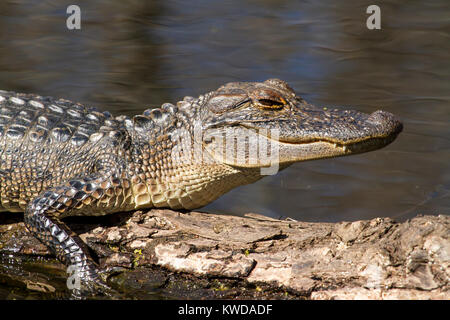 Young alligator close up - Stock Photo