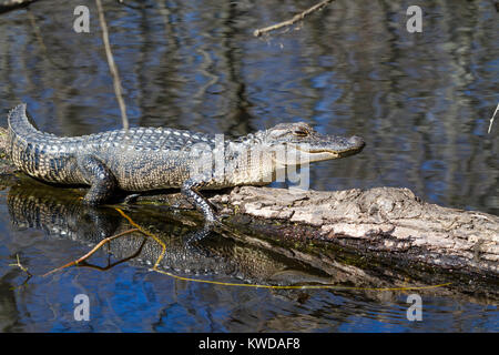Young alligator taking on a tree - Stock Photo