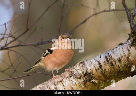 Common Chaffinch male , Fringilla coelebs, in birch woodland,  Glenmore, Cairngorm, Scotland, UK - Stock Photo
