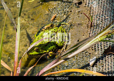 Green frog named Pelophylax kl. esculentus with brown stains sitting on the border pond - Stock Photo