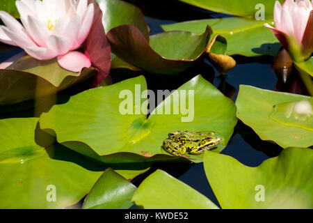 Green frog named Pelophylax kl. esculentus with brown stains sitting on the green lily leaf - Stock Photo