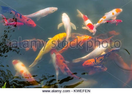 Koi (carp) in a pond at the Thien Mu Pagoda (Pagoda of the Celestial Lady) is a historic temple in the city of Hue - Stock Photo