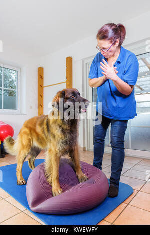 picture of a woman who works with a Leonberger in an animal physiotherapy office - Stock Photo