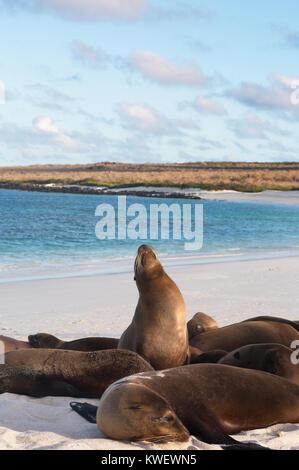 Galapagos Sea Lions ( Zalophus wollebaeki ), Gardner Bay, Espanola Island, galapagos Islands, Ecuador South America - Stock Photo