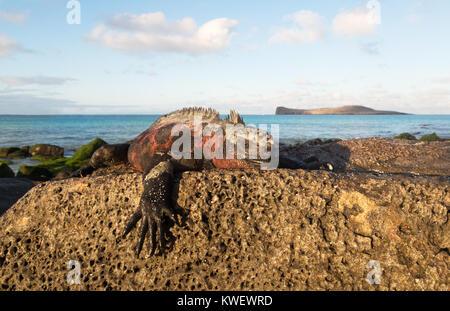 Marine Iguana ( Amblyrhynchus cristatus ), male in mating colours on a rock, Santa Cruz island, Galapagos Islands, - Stock Photo