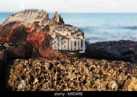 Marine Iguana ( Amblyrhynchus cristatus ), male on a rock, Santa Cruz island, Galapagos National Park, Galapagos - Stock Photo