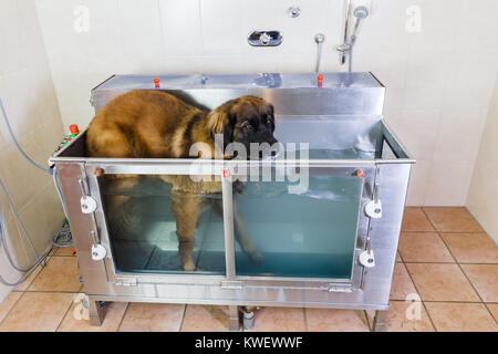 picture of a Leonberger dog in a hydrotherapy station - Stock Photo