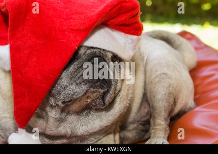 Merry Christmas, gorgeous pug breed dog with daddy-noe hat, closeup, portrait, old dog. - Stock Photo