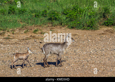 Common waterbuck in Kruger national park, South Africa ; Specie Kobus ellipsiprymnus family of Bovidae - Stock Photo