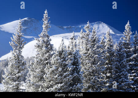 Fresh winter powder snow on evergreen trees with mountains in the background at Breckenridge Ski Resort in Colorado - Stock Photo