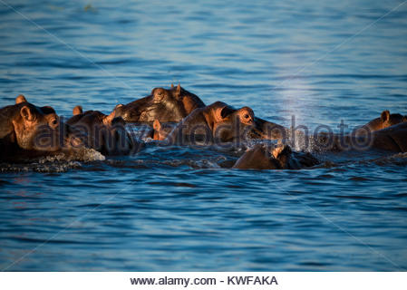 A group of hippo relax in Chobe River - Stock Photo