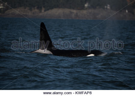 A large male orca surfaces in Vancouver Bay - Stock Photo