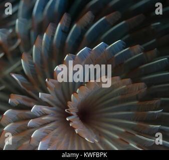 Detail of a tube-dwelling anemone - Stock Photo