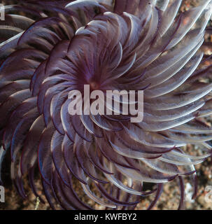Feather duster tube worm swaying in the current - Stock Photo