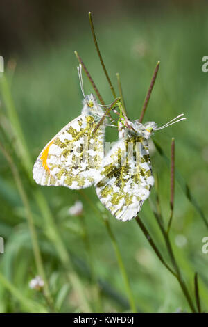 Orange tip butterflies, Anthocharis cardamines, mating in early spring in a meadow, Pieridae, orange-tip, insect - Stock Photo