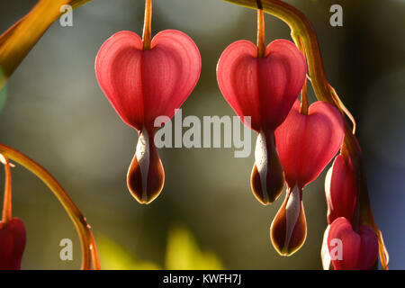 horizontal macro of stem of bleeding hearts; pink and juicy. beautiful pinks, greens with shallow depth of field. - Stock Photo