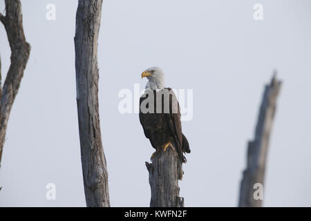 FORT LAUDERDALE, FL - JUNE 01: The bald eagle is both the national bird and national animal of the United States - Stock Photo