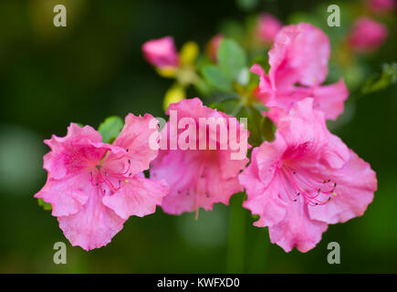 Rhododendron indicum pink blossom macro shot - Stock Photo