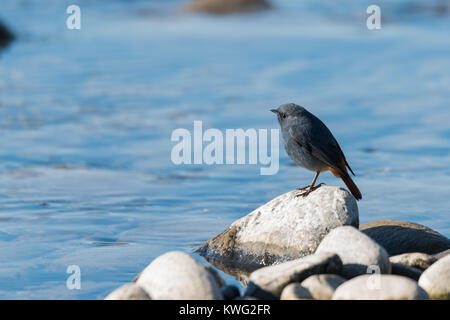 The plumbeous water redstart is a passerine bird standing on a rock near river - Stock Photo