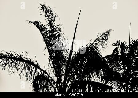 Palm frond in black and white against the skyline, Townsville, Queensland, Australia - Stock Photo