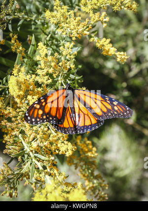 Davenport, Iowa, USA. 17th Sep, 2016. A Monarch butterfly is seen on a flower after being released at the Nahant - Stock Photo