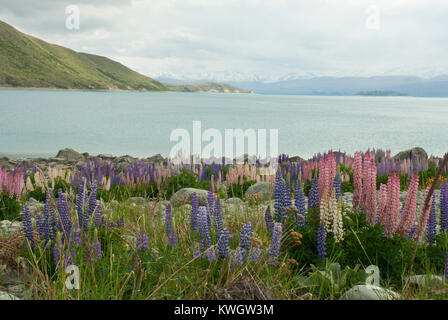 Stunning and colourful landscape of Lake Tekapo, Spring/ Summer, with blue lake surrounded by snow capped mountains - Stock Photo