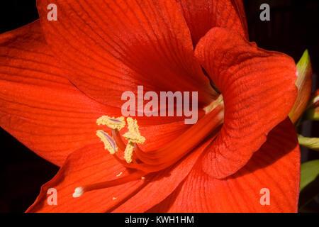 Red Amaryllis on black background - Stock Photo