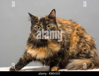 Long haired domestic tabby cat looking alert - Stock Photo