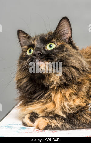 Long haired domestic tabby cat looking up - Stock Photo