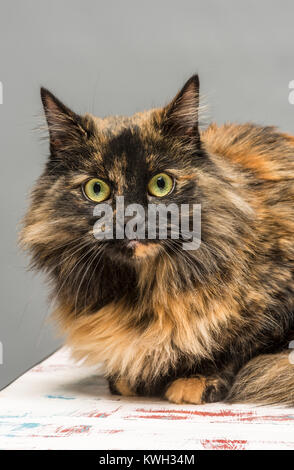 Long haired domestic tabby cat - Stock Photo