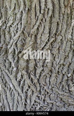 Sommer-Linde, Sommerlinde, Rinde, Borke, Stamm, Baumstamm, Linde, Tilia platyphyllos, Tilia grandifolia, large-leaved - Stock Photo