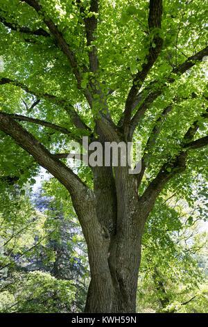 Sommer-Linde, Sommerlinde, Linde, Blick ins Blätterdach, Baumkrone, Tilia platyphyllos, Tilia grandifolia, large - Stock Photo