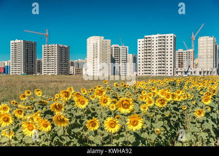 Field of large sunflowers and a new high-rise building on blue sky background - Stock Photo