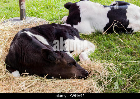 Close up of cow sleeping on dry straw in the farm. Black and white small calf asleep on hay. - Stock Photo