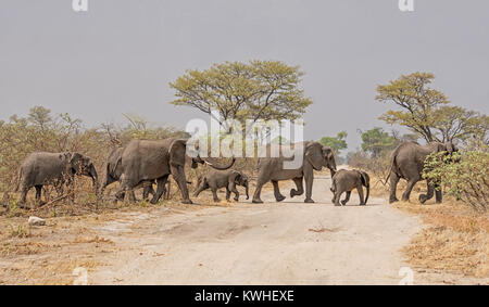 A herd of African Elephants crossing a road in Namibia - Stock Photo