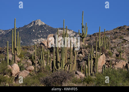 Saguaro cactus, (Carnegiea gigantea), grow in the foothills of the Santa Catalina Mountains, a forest covered Sky - Stock Photo