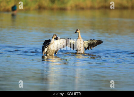 The Indian spot-billed duck is a large dabbling duck which is a non-migratory breeding duck throughout freshwater - Stock Photo