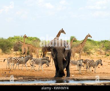 Elephant, zebra and giraffe in Etosha National Park, Namibia.. The elephant is at a waterhole and the zebra and - Stock Photo