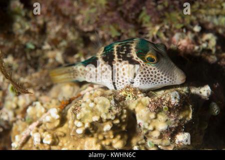 Portrait of a Valentin's sharpnose pufferfish