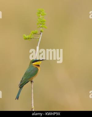 Little Bee-eater (Merops pusillus) - Stock Photo