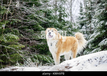 Large mixed breed dog on a winter day, Ontario, Canada. - Stock Photo